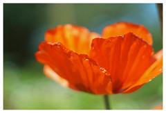 Mohnblüte (h.ullrich) Tags: helios 442 258 m42 mohn rot pflanze blume blüte macro detail nahaufnahme bokeh bokehlicious klatschmohn feld