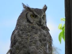 Great Horned Owl (got2snap) Tags: owl great hornedowl bird birdofprey eyes sx60 canon canada nature greatnature outdoors saskatchewancountry wildlife wild