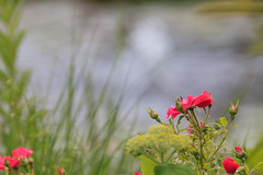 Rosen im Garten (Bernhard Schlor) Tags: rose seasons niederösterreich country natur österreich europa lété austria pflanzen blumenundpflanzen summer jahreszeiten europe sommer mauerbach autriche nö loweraustria