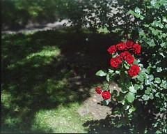 (✞bens▲n) Tags: mamiya 7ii kodak ektacolorgold400 80mm f4 film analogue 6x7 garden karuizawa nagano japan flowers red