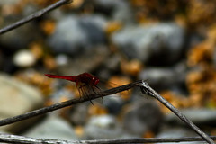 (Fo.El) Tags: italy red dragonfly river colors nature nikon d5100