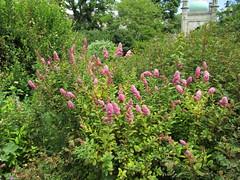Spiraea (wallygrom) Tags: england sussex eastsussex brighton brightonpaviliongarden