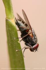 Sleeping closeup 1 (srkirad) Tags: animal insect fly closeup macro dof depthoffield bokeh blur branch foliage tree plant