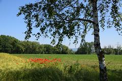 Rassemblement de coquelicots (Croc'odile67) Tags: nikon d3300 sigma contemporary 18200dcoshsmc paysage landscape coquelicots poppies champ campagne arbres trees flowers fleurs