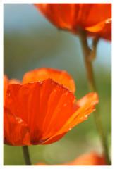 Mohnblüten (h.ullrich) Tags: helios 442 258 m42 mohn rot pflanze blume blüte macro detail nahaufnahme bokeh bokehlicious klatschmohn feld