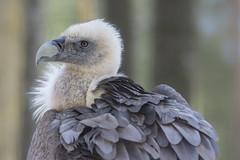 Nice haircut (Fotos4RR) Tags: griffonvulture eurasiangriffon vulture bird profile whitehead birdofprey animal gänsegeier geier aasfresser oldworldwulture altweltgeier vogel tier scavenger