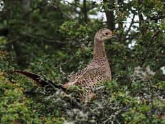 Pheasant (terrylaws526) Tags: birds newhythe pheasantf wildlife