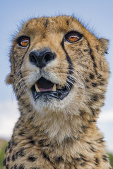 Last portrait of Sithle (Tambako the Jaguar) Tags: cheetah big wild cat male portrait face close looking openmouth sky beautiful attentive calm closeup lionsafaripark johannesburg southafrica nikon d850