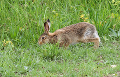 Leveret  7T9A7287 (Graimages) Tags: select leveret younghare brownhare northnorfolk