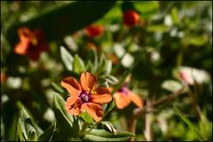 Fleur rouge - 167/365
