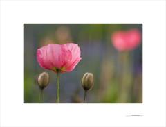 The secret promise (E. Pardo) Tags: primavera frühling printemps spring flores blumen flowers amapolas mohnblumen colores colors farben formas formen forms beauty belleza schönheit admont steiermark austria österreich