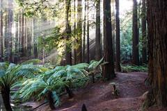 Ray of light (stevecart84) Tags: tress ferns sunshine rays light redwoods califirnian colac beechforest nikopn d7200 nature outdoors sigma landscape otwayranges