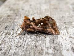 Beautiful Golden-Y (Baractus) Tags: earlswood westmidlands uk beautiful goldeny john oates lakes moth