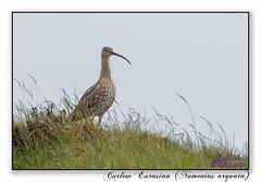 Curlew (blazingsun2011) Tags: axeedgemoor birds curleweurasiannumeniusarquata derbyshire naturalworld nature waders wildlife