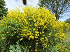 Spartium junceum (wallygrom) Tags: england sussex eastsussex brighton brightonpaviliongarden