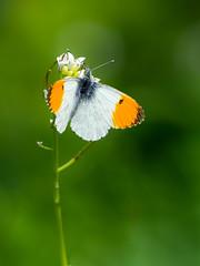 Orange Tip (Anthocharis cardamines) (bredmañ) Tags: anthochariscardamines butterfly insect male nectaring wild uk british wildlife nature naturallight handheld closeup macro