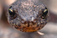 Ichthyosaura alpestris ♀ (www.endlessfields.ch) Tags: macro animal schweiz switzerland wildlife molch macrophotography amphib schön amphibia caudata wildlifephotography ambphibian bergmolch amphibian