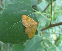 Yellow Shell Moth (StevePaisley) Tags: yellow shell moth insect