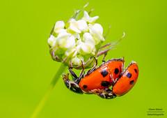 Ladybugs (jandia68) Tags: insect insects insekt insekten macro makro ladybug marienkäfer käfer naturephotograph naturephotgraphy naturepics naturephotography natur naturephoto nature naturfotografie tamronsp90 tamron canon