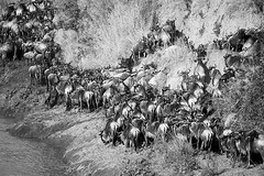 Wildebeest migration - Masaï Mara - Kenya (lotusblancphotography) Tags: africa afrique kenya nature wildlife faune animal wildlbeest gnous migration monochrome blackwhite safari