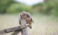 The Cuddle (Nigey2) Tags: bird birds birdofprey raptor wildlife wildbirds