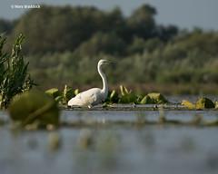Great-white-egret (Mary B Wildlife) Tags: waterbirds floodplainbirds greatwhiteegret