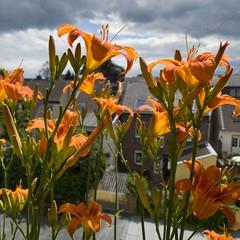 Neues aus Balkonien #rodenkirchen #lilie #lilien  www.gaidaphotos.com @gaidaphotos   #like #follow #cute #Photooftheday #followme #Happy #smile #instagood #fun #smile #flowers #flower #petal #petals #nature #beautiful #love #pretty #blossom #sopretty  #fl (gaidaphotos) Tags: love photooftheday lilie cute petals smile flowersofinstagram beautiful petal sopretty instagood rodenkirchen flowers pretty blossom flowerstagram happy like nature lilien follow flower flowerslovers followme fun