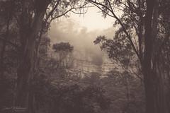 Megalong Mist (Dave Whiteman - AU) Tags: mist megalongvalley rainforest bluemountains megalong landscape