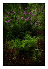 Rhodondenron (jos.pannekoek) Tags: forest nature d850 2470 landscape landschap brabant
