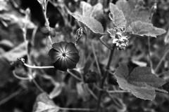 Proxy flower (•Nicolas•) Tags: 125iso fp4 france iiif ilford ilfosol leica nicolasthomas rondinax summar vintage yvelines nature garden detail proxy nookyhesum flower bw nb
