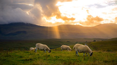 Isle of Skye (dkphotographs) Tags: isleofskye scotland highlands sunset coast clouds landscape sky greatbritain sonyalpha7 nature sun summer sonyalpha evening summertime sundown cliffs ashaig sheep sunlight