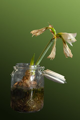 Time_Serie_#2_009_extracted (LC.image) Tags: amaryllis white blanc fleurs flower
