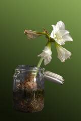 Time_Serie_#2_007_extracted (LC.image) Tags: amaryllis white blanc fleurs flower