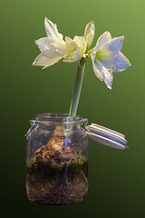 Time_Serie_#2_004_extracted (LC.image) Tags: amaryllis white blanc fleurs flower