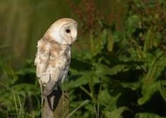 Barn Owl (charlie.syme) Tags: owl bird wildlife nature northumberland nikon