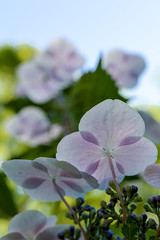 Hydrangea brothers (sapphire_rouge) Tags: tokyo fuchu 郷土の森公園 native forest park 東京 府中 hydrangea flowers ngc