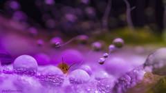 D5D_5877aphidflowerdrops1jsm (JayEssEmm) Tags: macro micro drop drops insect flower