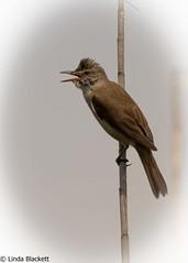 Great reed warbler, Danube Delta (fernechino) Tags: danubedelta romania birds greatreedwarbler