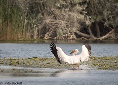 White pelican landing in Danube Delta (fernechino) Tags: danubedelta romania birds whitepelicans