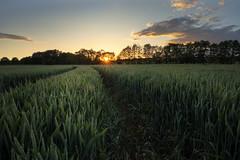 Cornfield sunset (Sebo23) Tags: sunstar sunset sonnenstrahlen sonne sonnenuntergang sonnenstern sunbeams licht light lichtstimmung lichtschatten landscape landschaft nature naturaufnahme natur cornfield kornfeld canoneosr canon16354l