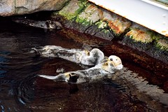 Otter love (Pictures in my head) Tags: portugal lisbon lisboa lisbonne new city town discover aquarium otter love animals lover nature explore discovery explorer relax with friends students history after exams art beauty life photography picture