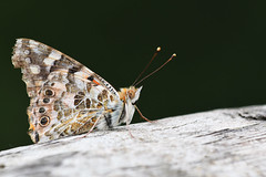 Painted Lady in Germany - 1 (Gomen S) Tags: butterfly insect macro 70200mmf4 nikon d500 europe germany summer afternoon mountain forest urban animal wildlife nature