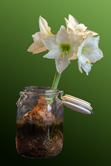 Time_Serie_#2_005_extracted (LC.image) Tags: amaryllis white blanc fleurs flower