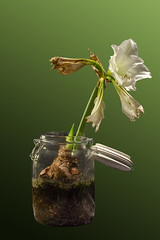 Time_Serie_#2_008_extracted (LC.image) Tags: amaryllis white blanc fleurs flower