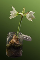 Time_Serie_#2_003_extracted (LC.image) Tags: amaryllis white blanc fleurs flower