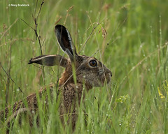Brown-hare (Mary B Wildlife) Tags: kiskunsag wildlifeofhungary brownhare