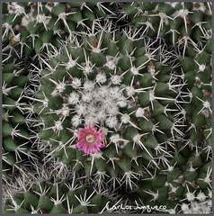 mammillaria en flor 2019 - 2 (carlosjunquero) Tags: cactus botanico mammillaria