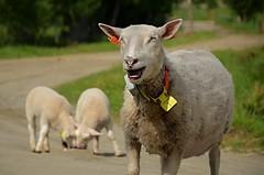 I`m so happy too be number one!!! (KvikneFoto) Tags: sau sheep lam lamb tamron nikon bokeh