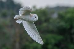 barn owl f (colin 1957) Tags: barnowl flight owl birds