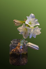 Time_Serie_#2_006_extracted (LC.image) Tags: amaryllis white blanc fleurs flower